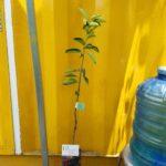 Hình mẫu cây giống cam sành (16/6/2017)