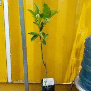 Hình mẫu cây cam xoàng (Hình chụp 16/6/2017)