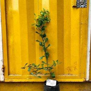 Ảnh mẫu cây giống chanh thái lá số 8, giá: 120.000/Cây (05/07/2018)