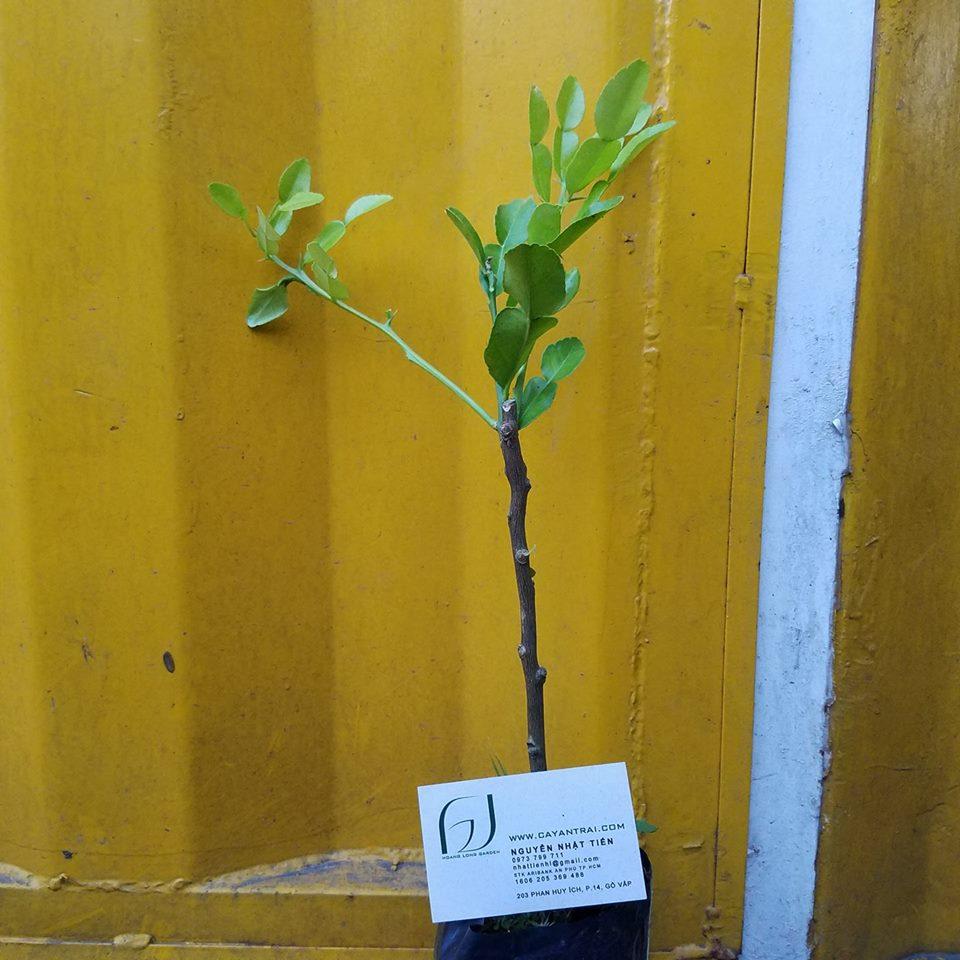 Ảnh mẫu cây chanh thái lá số 8. Cây ghép cho sức sống tốt hơn cây hạt. Chụp 29/12/2017. Giá: 90.000/Cây