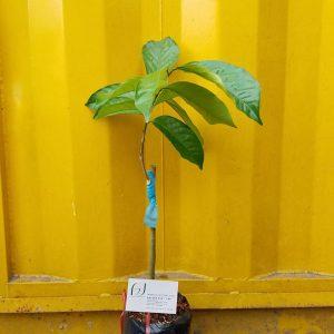 Ảnh mẫu cây bòn bon thái. Chụp 01/03/2018. Giá: 150.000/Cây. Cây có thể thay đổi tùy theo từng cây, ngày chụp. Khi đặt hàng online nhân viên sẽ liên hệ chụp hình cây sẽ giao.