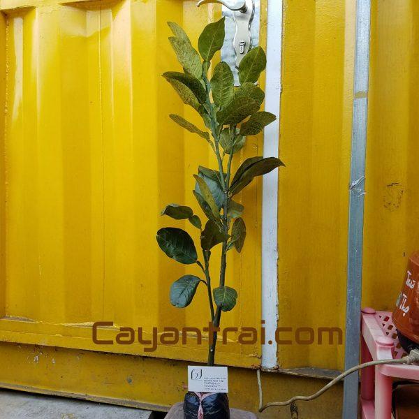 Hình mẫu cây giống bưởi da xanh. Chụp 19/9/2017. Giá: 50.000/Cây Giá số lượng 50 cây trở lên vui lòng liên hệ trực tiếp