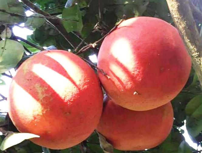 Trái bưởi đỏ (Bưởi Luận Văn)