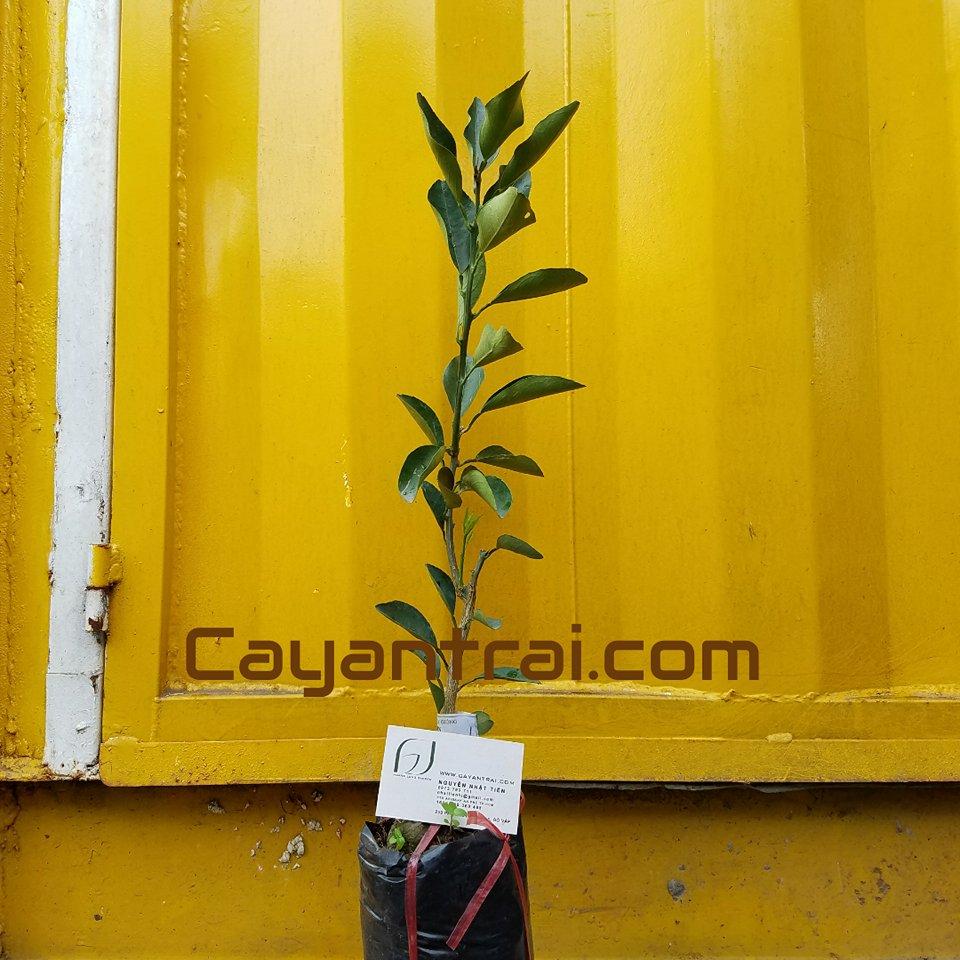 Hình mẫu cây giống cam cara ruột đỏ (Hoặc gọi là cam xoàng ruột đỏ). Giá: 100.000 (2/7/2017) Số lượng hơn 50 cây vui lòng liên hệ trực tiếp để có giá tốt nhất