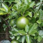 Hình trái cam sành