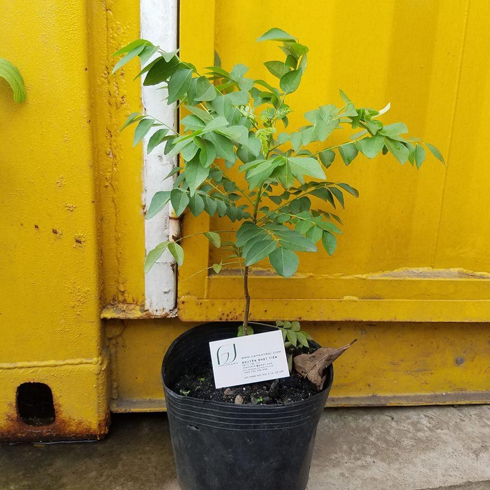 Ảnh mẫu cây giống cà ri. Chụp 02/02/2018. Giá: 70.000/Cây