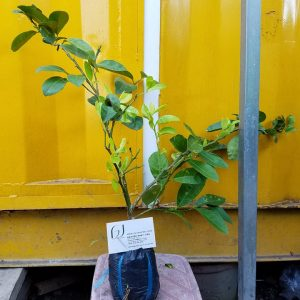 Hình mẫu cây chanh đào 16/6/2015