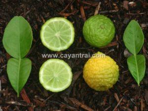 Chanh thái lá số 8 (hay còn gọi cây chúc, Kaffir lime)