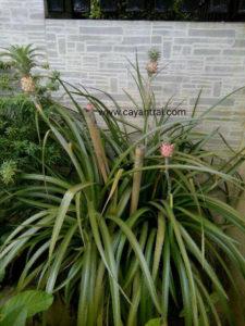 Hình minh họa cây khóm kiểng khi trồng làm cảnh