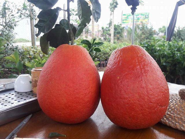 Trái bưởi đỏ Luận Văn