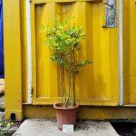 Cây tử đằng tím (cây đậu tía, Wisteria, fuji) - Cây lớn
