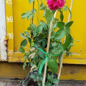 Chậu hoa hồng leo tường vy