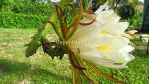 Hoa thanh long vỏ vàng Malaysia