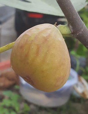 Trái sung Mỹ, loại trái màu vàng
