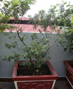 Cây ổi nhật (Ổi sẻ lá trung) trồng chậu tại nhà một khách hàng của Hoàng Long Garden
