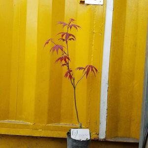 Hình mẫu cây phong lá đỏ đang bán. Ảnh chụp 19/10/2017. Giá: 200.000/Cây *Card visit dùng để đối chiếu tỉ lệ cây. Vì cây nhập nên có hiện tượng cháy lá, khi ra lá mới sẽ không bị lại.