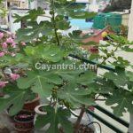Hình cây sung mỹ của một khách hàng đã trồng sau 6 tháng trong chậu tại TP HCM