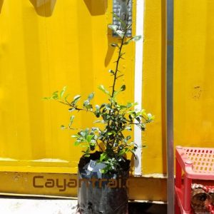Hình mẫu cây chanh thái lá số 8. (Ảnh chụp ngày 8/7/2017)
