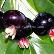 Hình trái cherry brazin