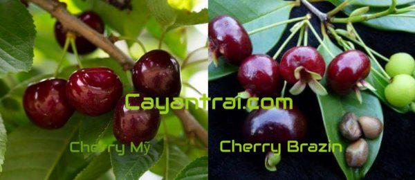 So sánh Cherry Mỹ và Cherry Brazin