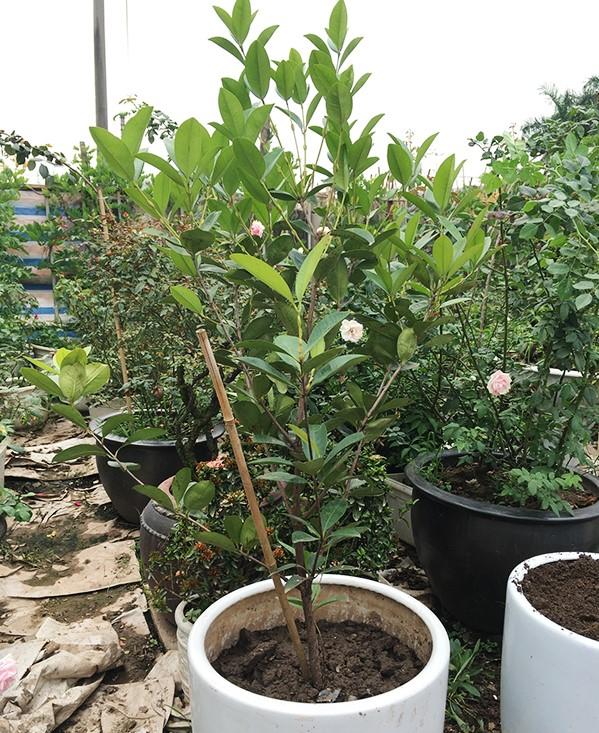 Cherry Brazin trồng chậu ra hoa (ảnh sưu tầm)