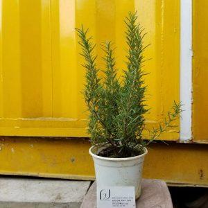 Hình mẫu cây hương thảo đang bán. Ảnh chụp 12/7/2017