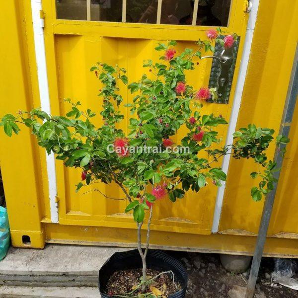Hình mẫu cây điệp lào (Hùng Cường) đang bán. Giá: 200.000/Cây (ảnh chụp 27/7/2017)