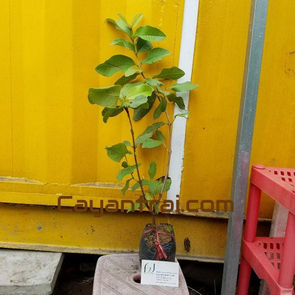 Hình mẫu cây giống ổi lê đài loan đang bán. Giá trên web chỉ là giá bán lẻ. Giá sỉ vui lòng liên hệ trực tiếp. (Ảnh chụp 21/7/2017)