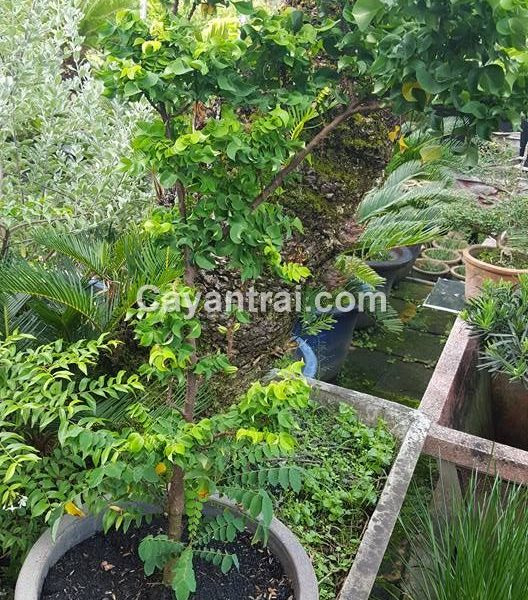 Cây khế lá xoắn được trồng chậu