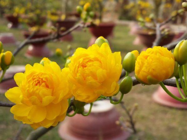 Hoa mai cúc 150 cánh