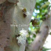 Hoa nho thân gỗ
