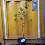 Cây nho thân gỗ (Nho đất, Jabuticaba) - Nhỏ