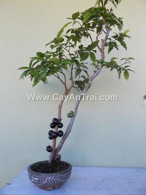 Hình minh họa nho thân gỗ bonsai