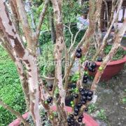Cây nho thân gỗ trồng chậu tại Việt Nam đã cho trái nhiều đợt