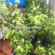 Hình một cây táo thái khách hàng của Hoàng Long Garden phải hồi. Cây được trồng trong chậu 6 tháng.