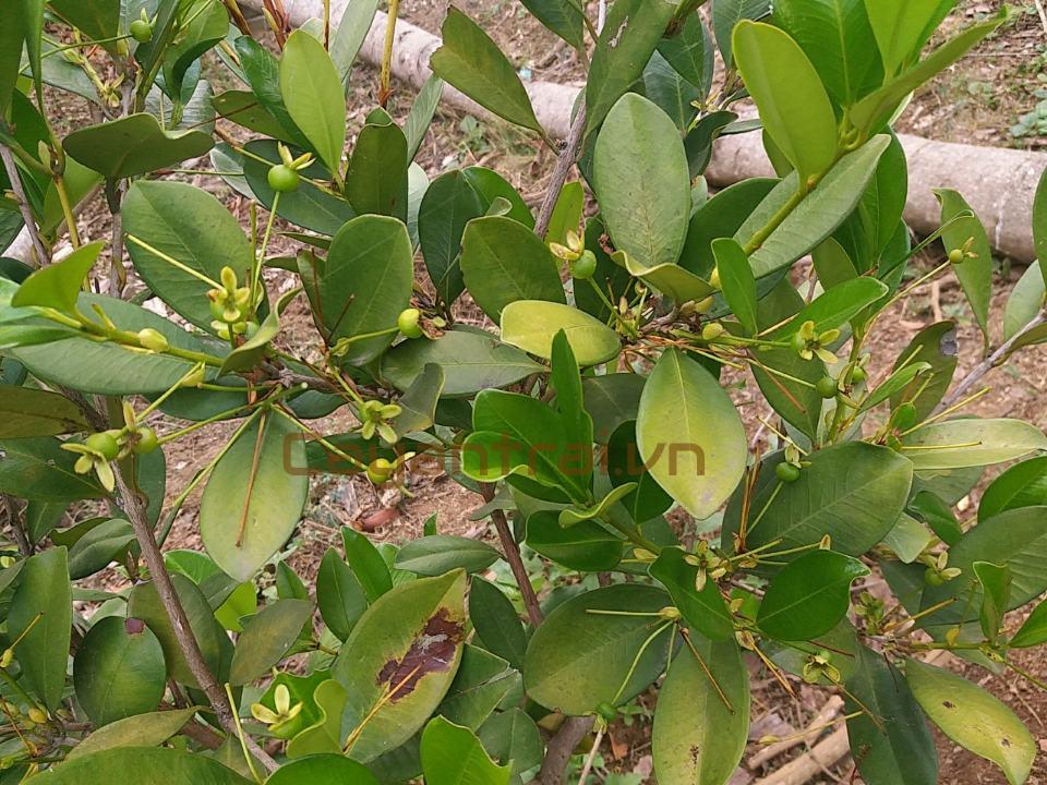 Phản hồi từ khách hàng của Hoàng Long Garden. Cây cherry Brazin đã có trái, cập nhật 28/03/18