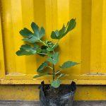 Cây sung mỹ (Sung ngọt, vả Mỹ, Fig Ficus Carica) - Cây nuôi sẵn