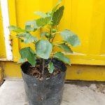 Ảnh mẫu cây sung mỹ (Fig). Giá: 350.000/Cây. Chụp 19/05/2018