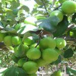 Cây táo thái lan