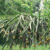 Cây thanh long vỏ vàng Malaysia