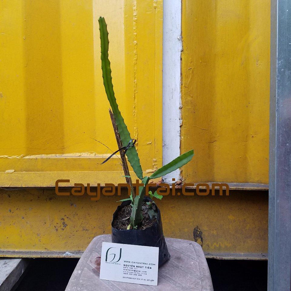 Ảnh mẫu cây giống thanh long vàng. Chụp 03/10/2010