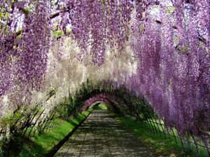 Cây hoa tử đằng (cây đậu tía, Wisteria, fuji)