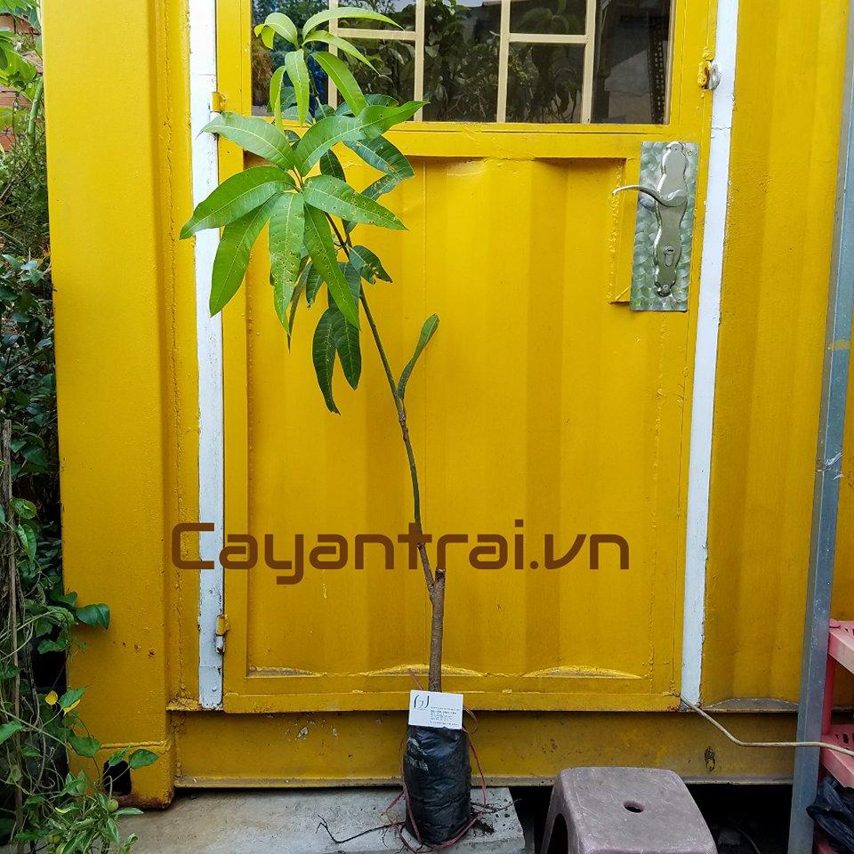 Ảnh mẫu cây giống xoài ngọc vân (Xoài đài loan đỏ). Giá: 60.000/Cây. Giá số lượng 50 cây trở lên vui lòng liên hệ trực tiếp