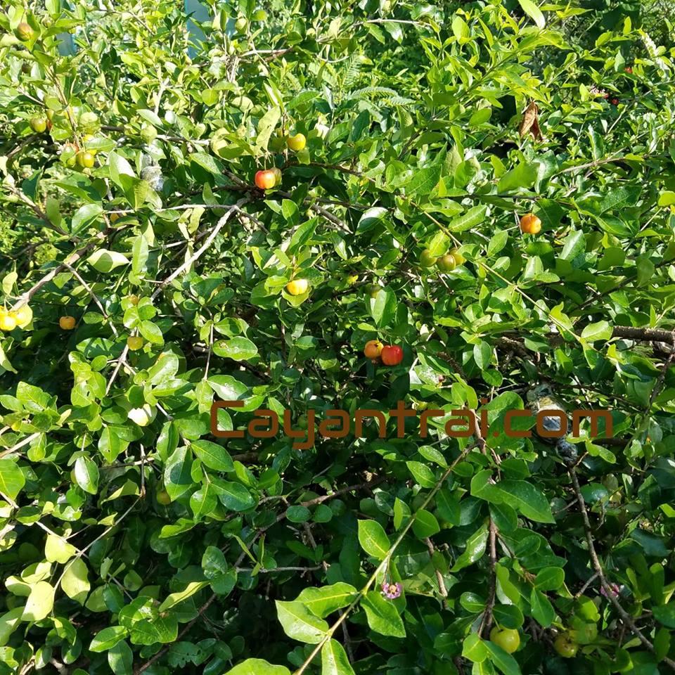 Hình cây sơ ri thái khi đậu trái