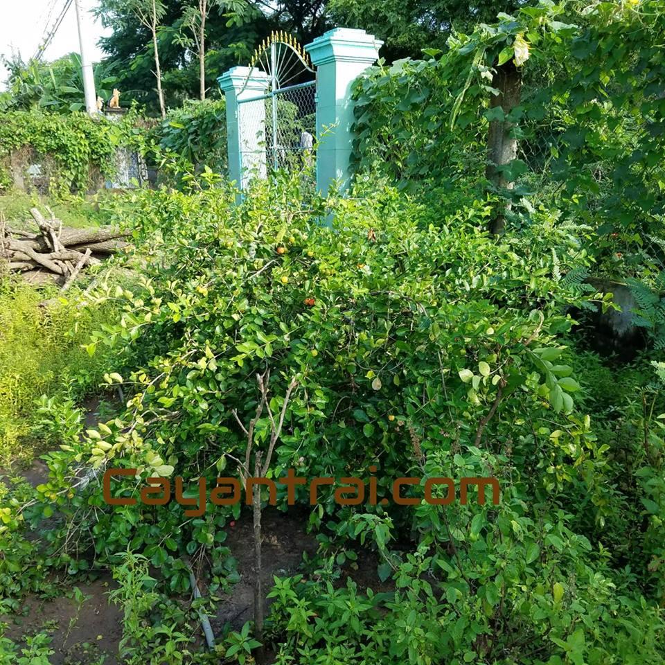 Hình cây sơ ri thái trồng 4 năm. Chiều cao khoảng 1m2. Nhưng trái nhiều. Rất tiện để thu hoặch
