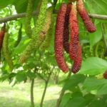 Trái dâu tằm trái dài (Dâu tằm Đài Loan)