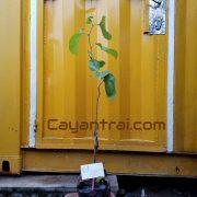 Ảnh mẫu cây dâu trái dài. Chụp 02/10/2017