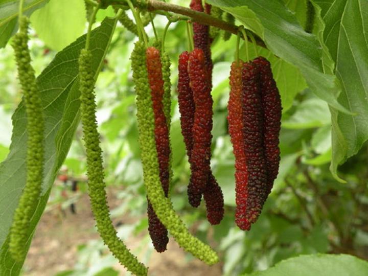 Cây dâu trái dài