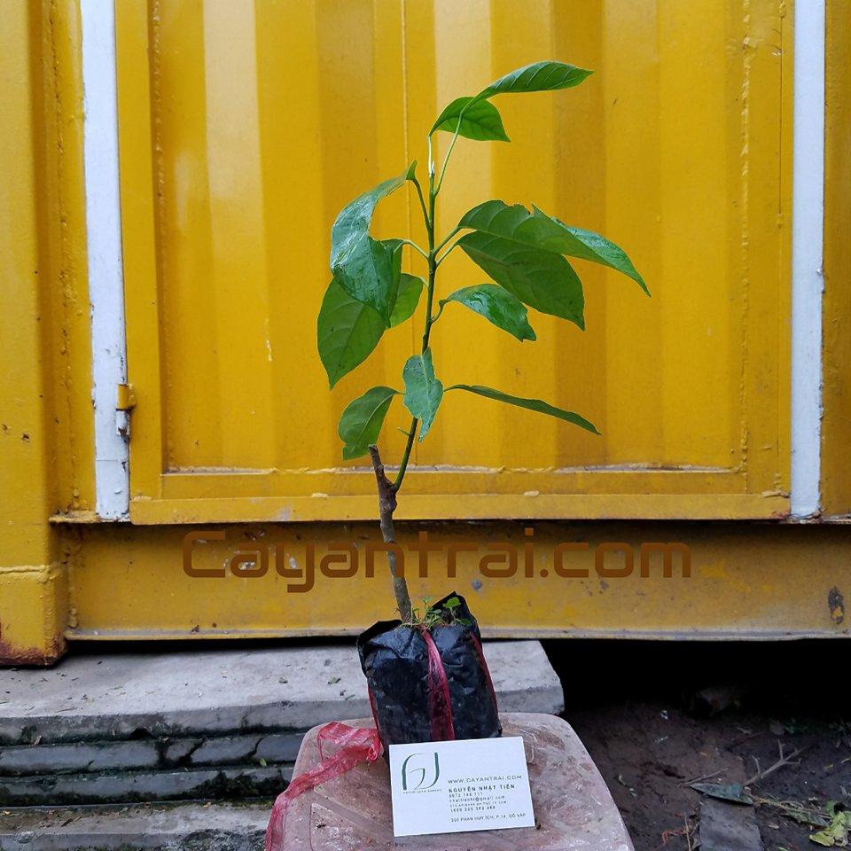 Hình mẫu cây dâu da đất. Ảnh Chụp 23/8/2017
