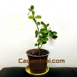 Hình mẫu loại cây giống sơ ri thái đang bán. Ảnh chụp ngày 11/8/2017